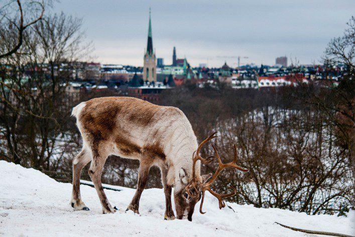 Deer in Skansen