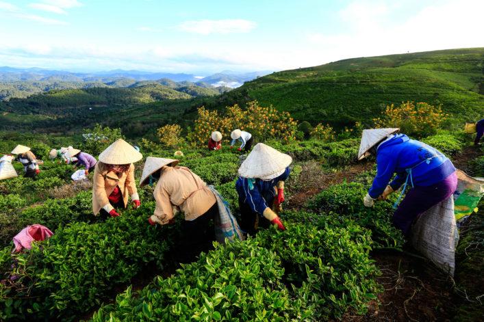 Farmers working in green tea fields