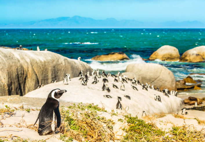 Colony of african penguins on rocky beach in South Africa