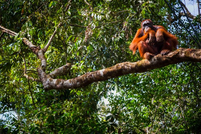 Ein Orang-Utan auf der Insel Sumatra