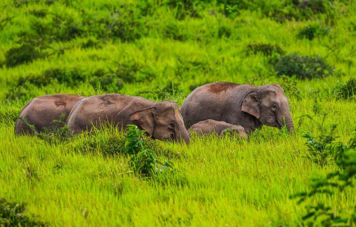 kleine-gruppe-von-wilden-elefanten-nationalpark-khao-yai-istock_000073602235_large-2