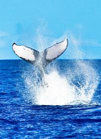 Buckelwal-Tail-auf-den-hawaiianischen-Inseln-iStock_85803353_XLARGE-2-1