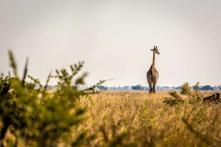 Wilde Giraffe in Savuti, Botswana