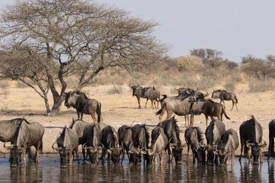 Gnu Herde am Wasserloch in der Kalahari, Botswana