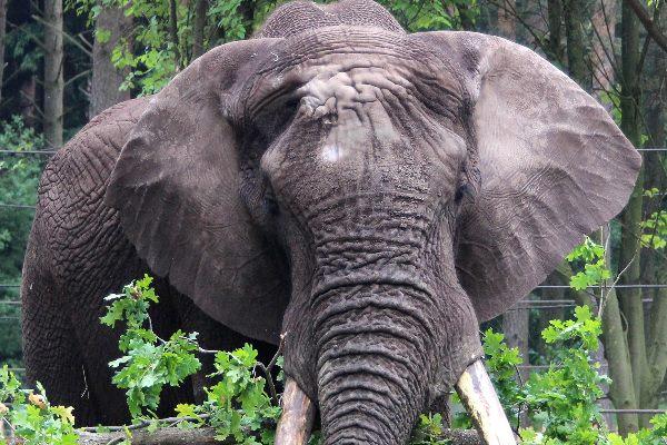 Elefant-im-Serengeti-park